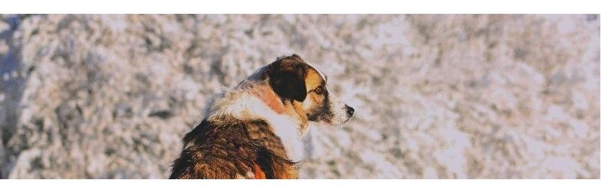 Le chien âgé ou sénior