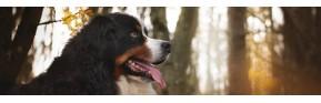 Yeux qui coulent ou traces rougeâtres chez le chien