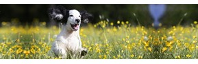 Nettoyer les oreilles de votre chien et éviter les Otites | AJC Nature