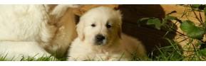 La Gestation et la Lactation chez la chien | AJC Nature
