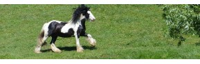 Dermite estivale, démangeaisons, grattage du cheval | AJC Nature