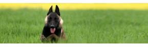 Répulsifs insectes naturels et efficaces pour le chien | AJC Nature